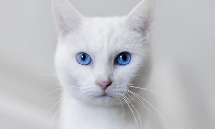 کیا آپ جانتے ہیں کہ اس قسم کی بلیاں کیوں عموماً بہری ہوتی ہیں؟
