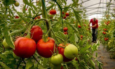 ٹماٹر۔۔۔۔قدرت کا انمول تحفہ