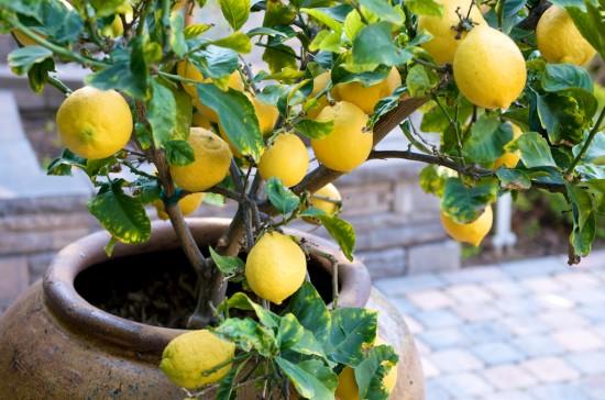 لیموں کا درخت سالانہ کتنی پیداوار دیتا ہے؟