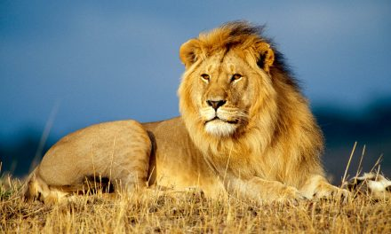 جب جنگلی شیروں نے لڑکی کی جان بچائی