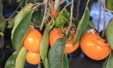 جانئے جاپانی پھل کے حیرت انگیز فائدے