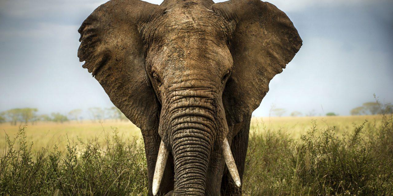 جانتے ہیں کہ ہاتھی وہ واحد جانور ہے جو چھلانگ نہیں لگا سکتا؟