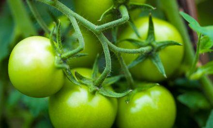 سبز ٹماٹروں کو لال بنانے کا آسان سا ٹوٹکا