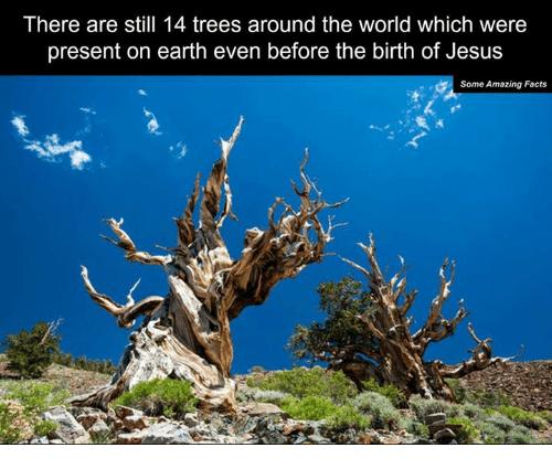 2 ہزار سال پرانے درخت