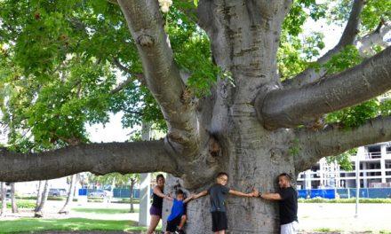 اس درخت کے تنے میں سیکڑوں لیٹر پانی جمع ہوتا ہے، تحقیق