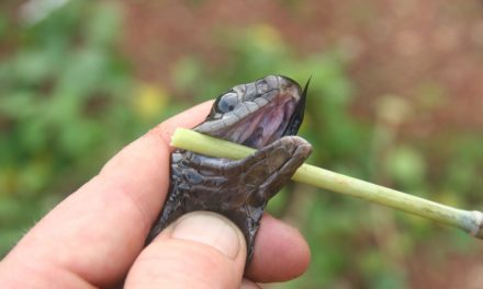 """""""بوم سلینگ"""" دنیا کے خطرناک ترین سانپوں میں سے ایک ہے، تحقیق"""