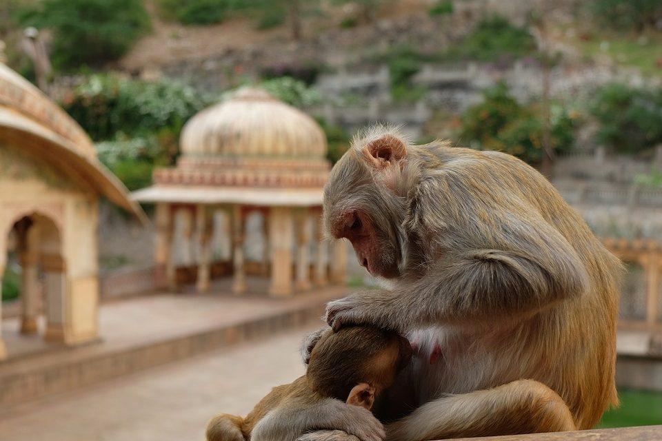 ہندوستانی بندروں کی تعداد کینیا کی کُل آبادی سے زیادہ ہے، تحقیق