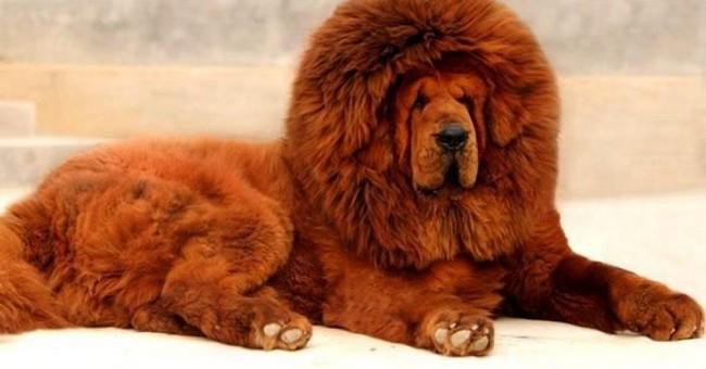 دنیا کی نایاب نسل کا سب سے قیمتی کتا