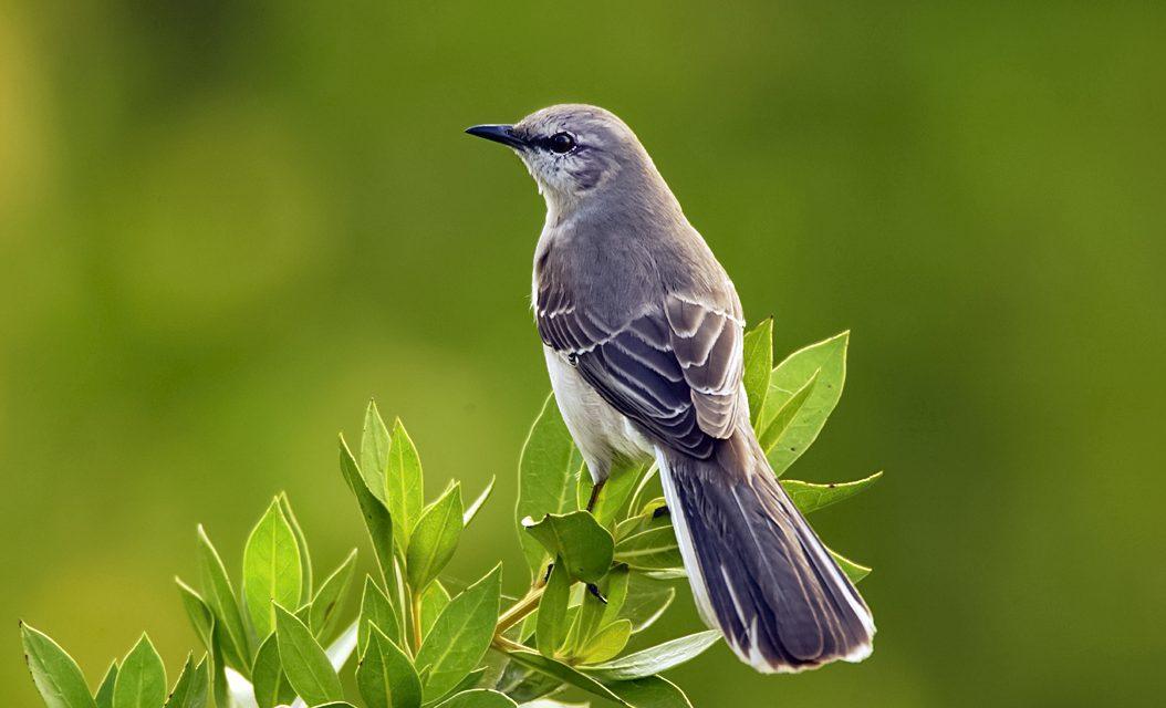 یہ پرندہ چالیس مختلف پرندوں کی آواز نکالتا ہے