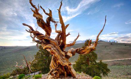 یہ ہے دنیا کے قدیم ترین درختوں میں سے ایک