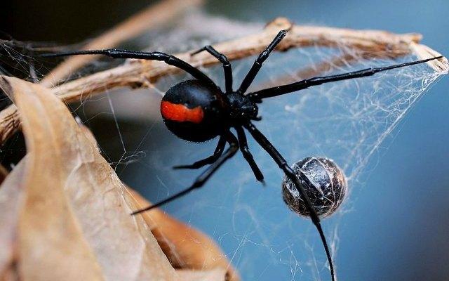 جانتے ہیں کہ یہ دنیا کی خطرناک ترین مکڑی ہے؟
