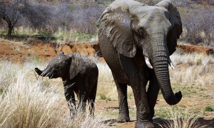 ہاتھی بارے عجیب و غریب مگر دلچسپ معلومات