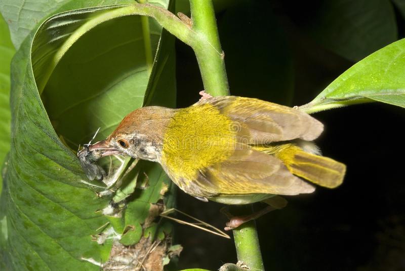 ٹیلر برڈ جو گھونسلا پودوں کے پتّوں کو سی کر بناتا ہے، تحقیق