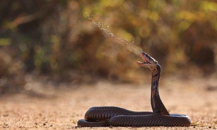دنیا کے خطرناک ترین سانپوں میں سے ایک
