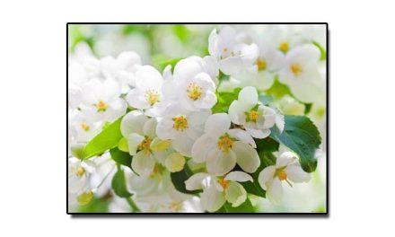 سولہ جولائی، جب گلِ یاسمین قومی پھول قرار دیا گیا