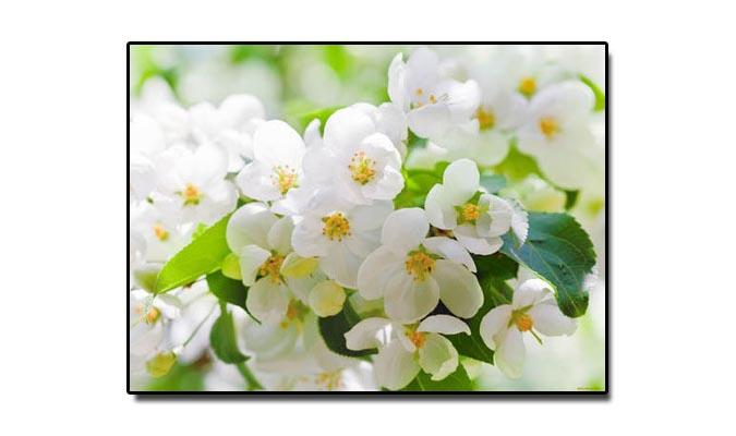 16 جولائی، جب گلِ یاسمین قومی پھول قرار پایا