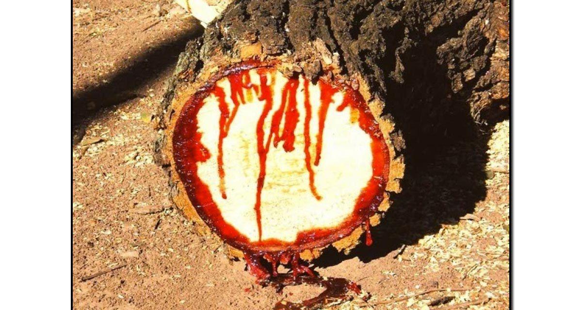 ایک ایسا درخت جسے کاٹنے سے خون جاری ہوتا ہے