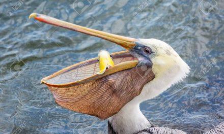 اِس ماہی خور آبی پرندے بارے پڑھئے ایک عجیب و غریب تحقیق