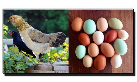 مانتے ہیں یہ مرغی چار مختلف رنگ کے انڈے دیتی ہے؟