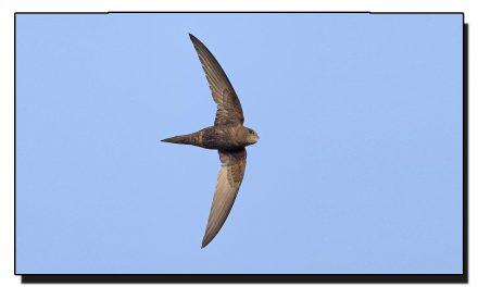 مانتے ہیں یہ پرندہ ہوا میں اُڑتے دس ماہ تک گزار سکتا ہے؟