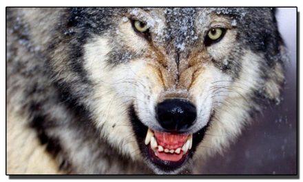 بھیڑیے بارے پڑھیے عجیب و غریب تحقیق