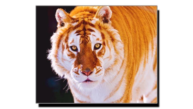 انتہائی نایاب نسل کا شیر جو جلد معدوم  ہوجائے گا