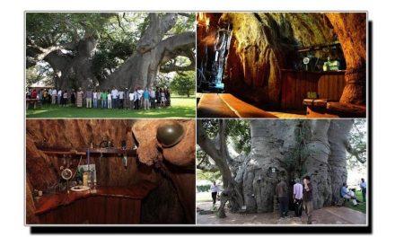 یہ ہے چھے ہزار سال پرانے درخت میں قائم میخانہ