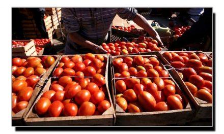 سوات، ٹماٹروں کی ریکارڈ پیداوار بارے خصوصی رپورٹ پڑھئے