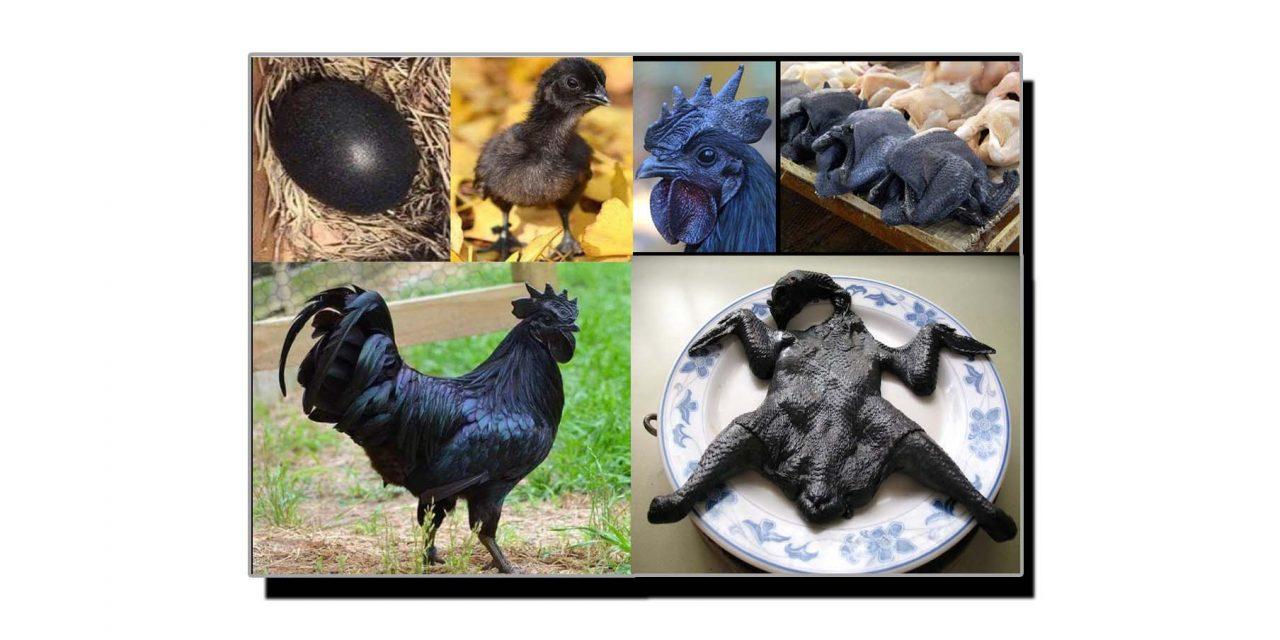 یہ ہے مرغی کی نایاب اور قیمتی نسل