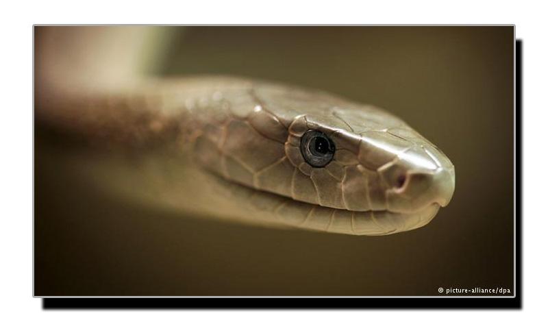 بلیک ممبا،دنیا کا دوسرا زہریلا ترین سانپ