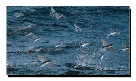 مچھلی کی عجیب و غریب قسم جو اُڑتی ہے