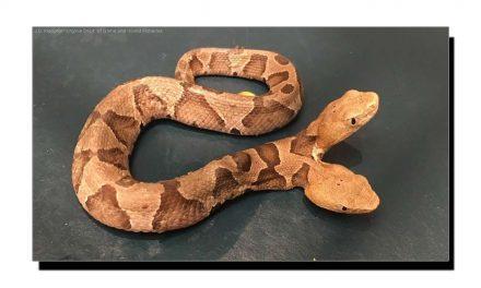 جانیے دُو سَروں والے سانپ کی عجیب و غریب حقیقت