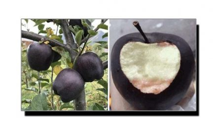 "دنیا کا نایاب سیب ""بلیک ڈائمنڈ"""