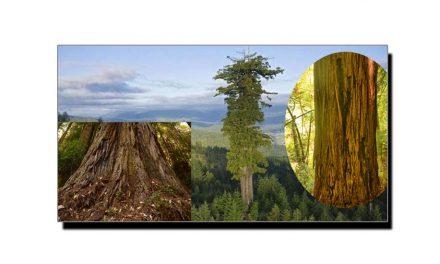 دنیا کی معلوم تاریخ کا سب سے لمبا درخت