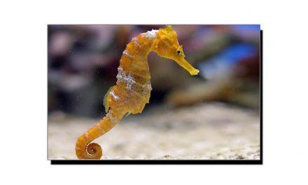 "دنیا کا غیر معمولی جانور ""سمندری گھوڑا"""