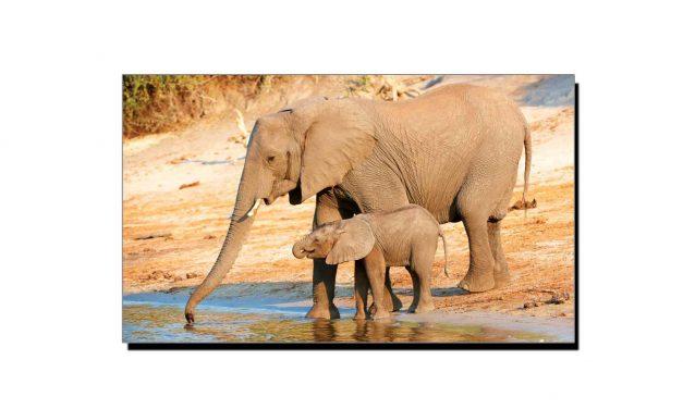 ہاتھی 12 میل دور سے پانی سونگھ سکتا ہے