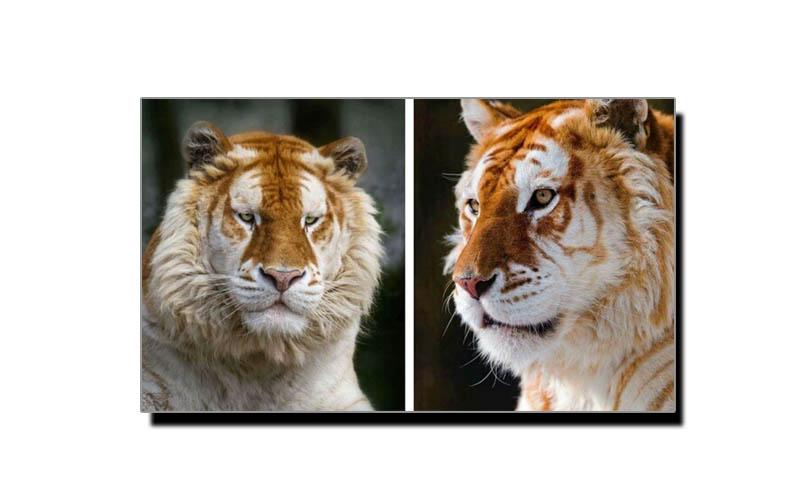 گولڈن ٹائیگر، شیروں کی معدوم ہوتی ہوئی نسل