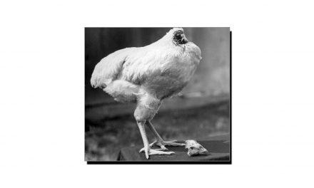 مرغی جو سر کٹنے کے بعد بھی 18 ماہ تک زندہ رہی