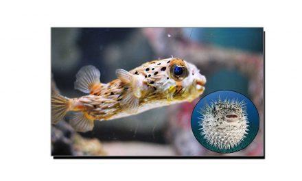 عجیب و غریب خار پشت مچھلی