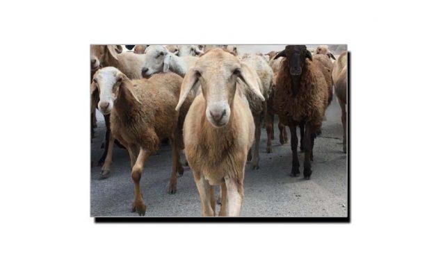 ہماری قومی بھیڑ چال