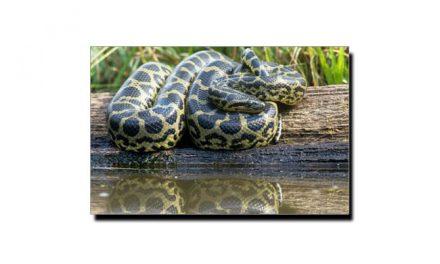 یہ ہے دنیا کا سب سے بڑا سانپ