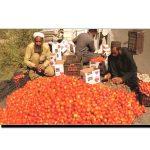 سوات میں ٹماٹر کی فصل امسال گھاٹے کا سودا ہے